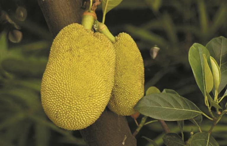保亭县是海南省菠萝蜜的重要生产基地,种植面积2万多亩,但由于台风